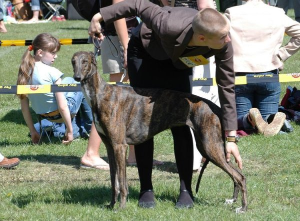 Whiteheads - whippets and greyhounds